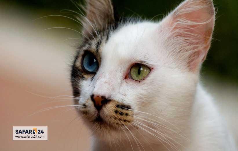 گربه معروف در شهر وان ترکیه