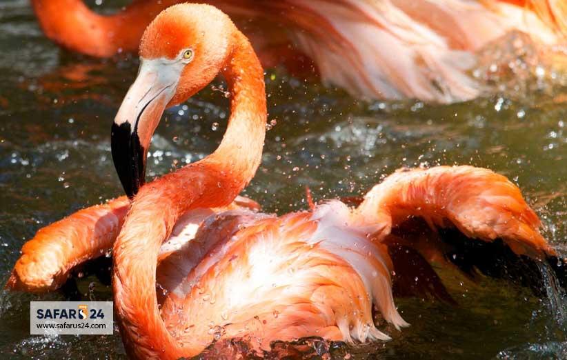 فلامینگو باغ پرندگان کیش